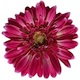 GERBERA ROYAL ROSE